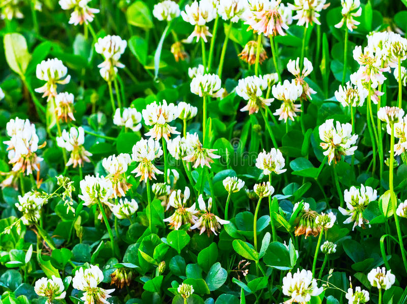 White clover. White flowers of a clover royalty free stock photo