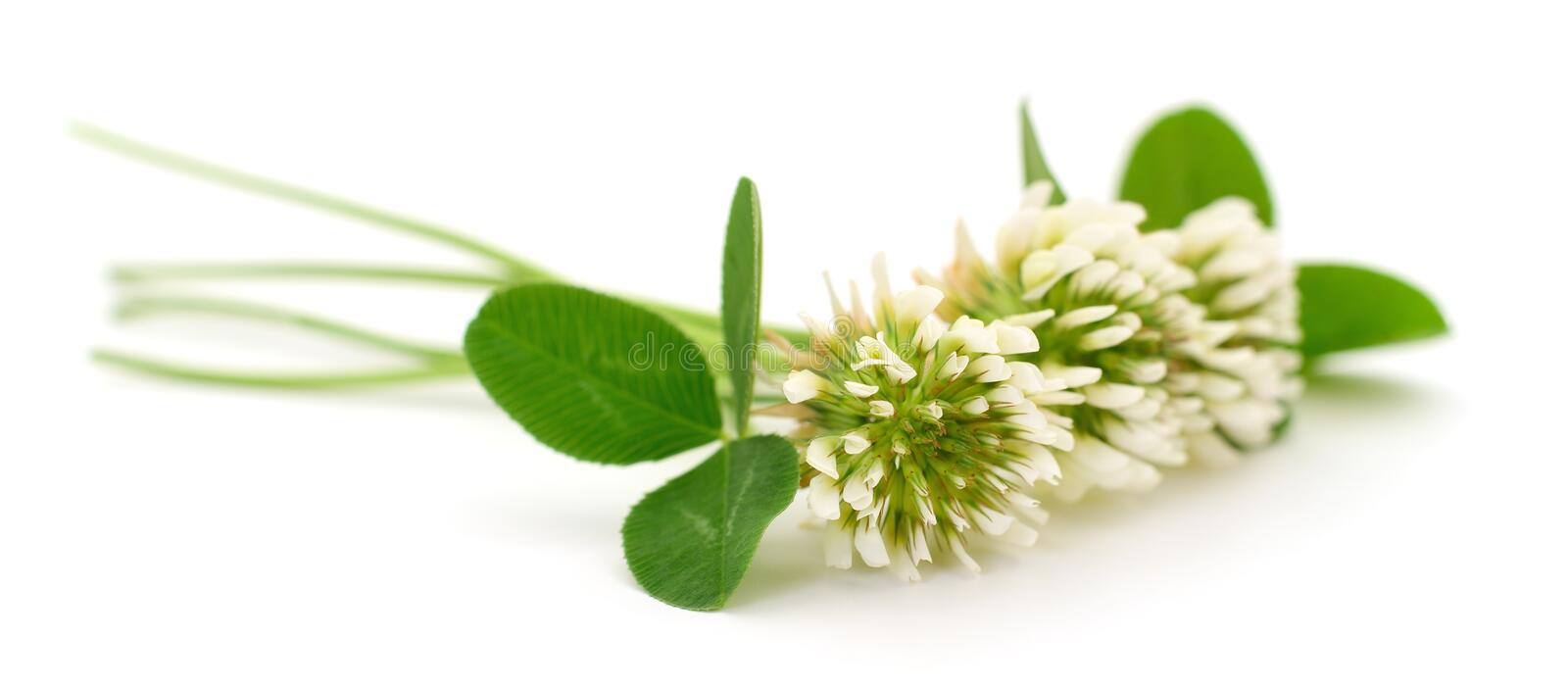 White clover flowers. On a white background stock image