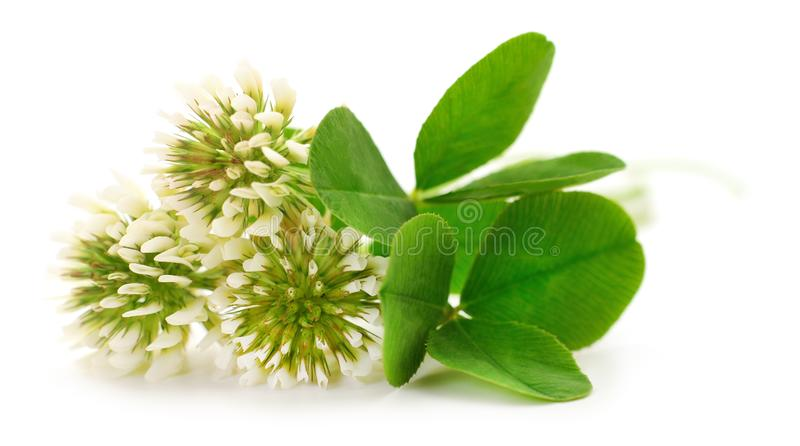 White clover flowers. On a white background royalty free stock photos