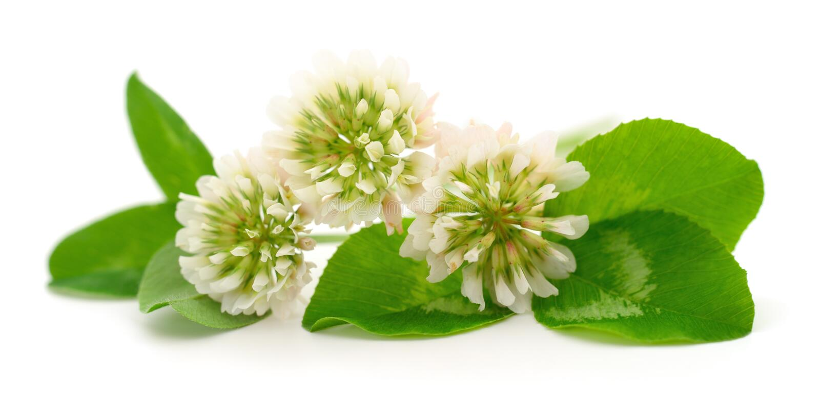 White clover flowers. On a white background stock photos
