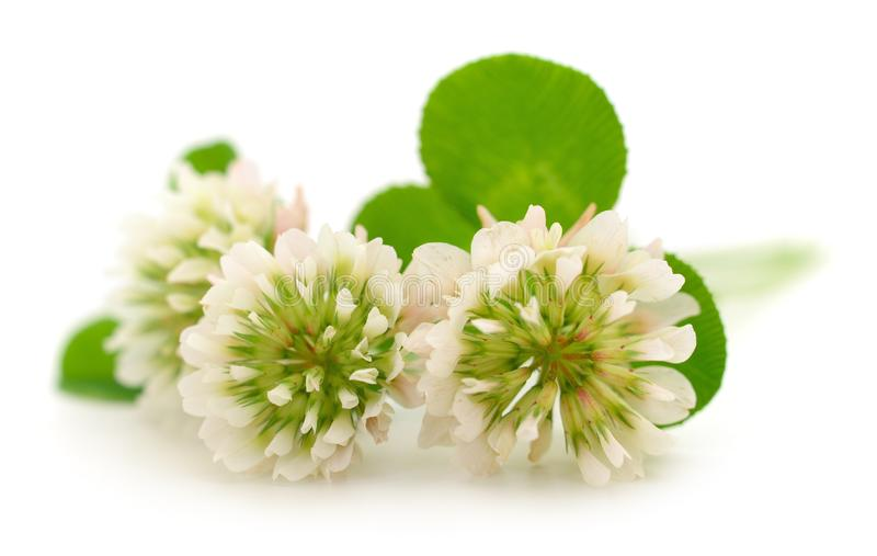 White clover flowers. On a white background royalty free stock photography