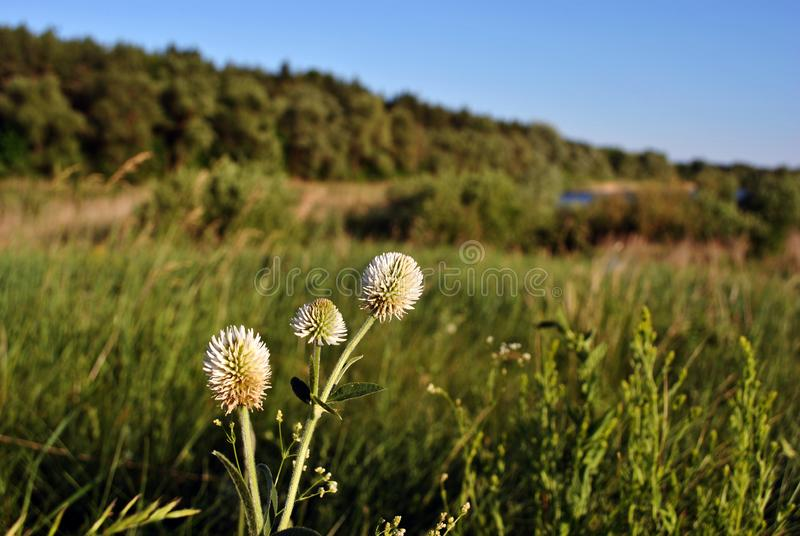 White clover flowers on hill with green grass, forest and blue sky. Background royalty free stock photography