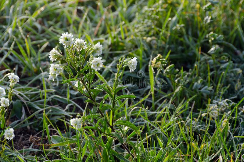 White clover. In grass with dew drops in the morning stock photos
