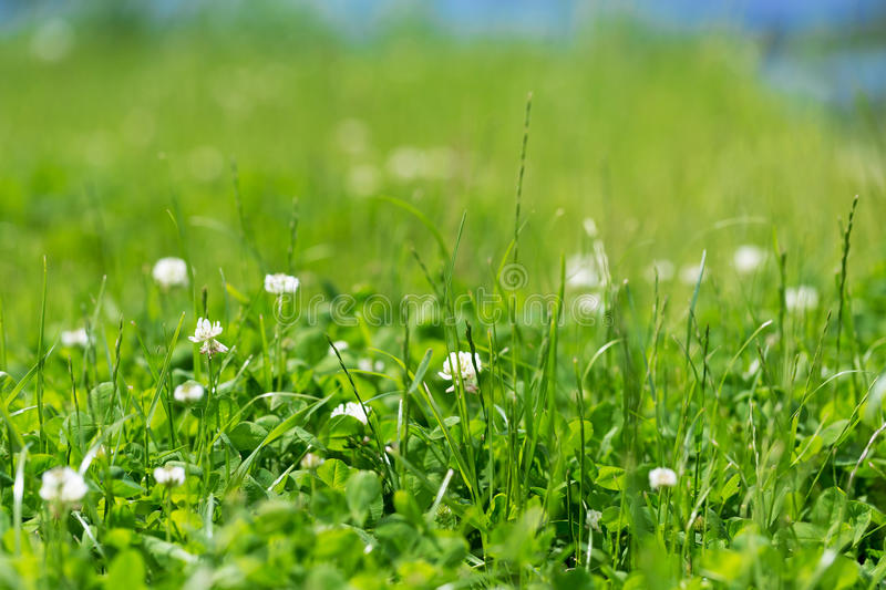White clover in the green grass. On blue sky background royalty free stock photography
