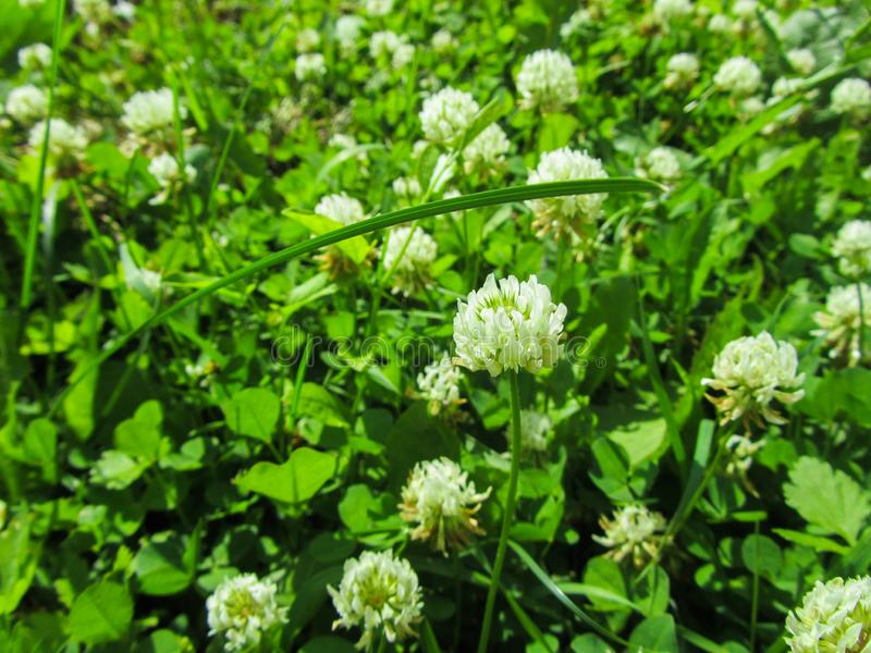 The white clover grows on a meadow. Trifolium repens stock photography