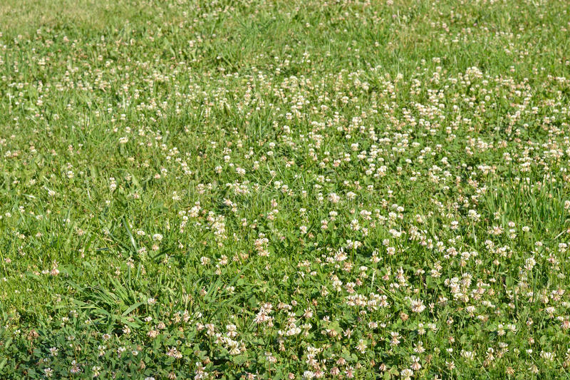 White clover and other grass. Background. Glade, overgrown with clover and meadow grasses. The foreground is in focus, the background is blurred stock images