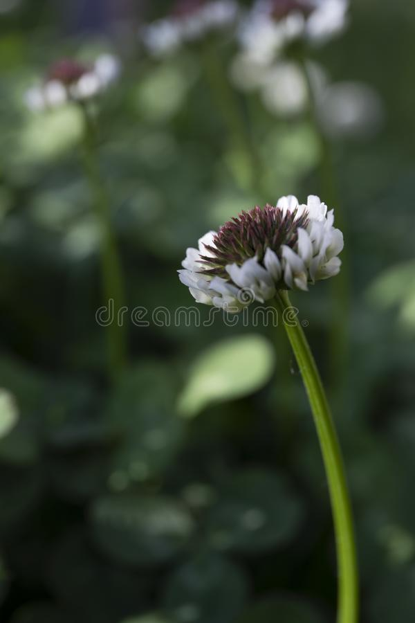 White clover trifolium close up garden photo and bokeh background. White trifolium  repens close up photo from garden and wonderful bokeh background stock images
