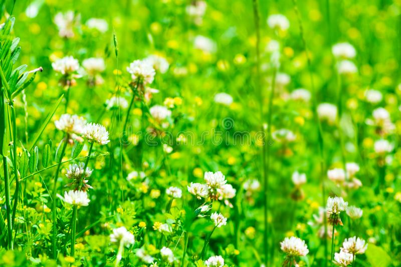 White clover trifolium flowers on meadow. Spring nature background. Soft focus.  stock photos