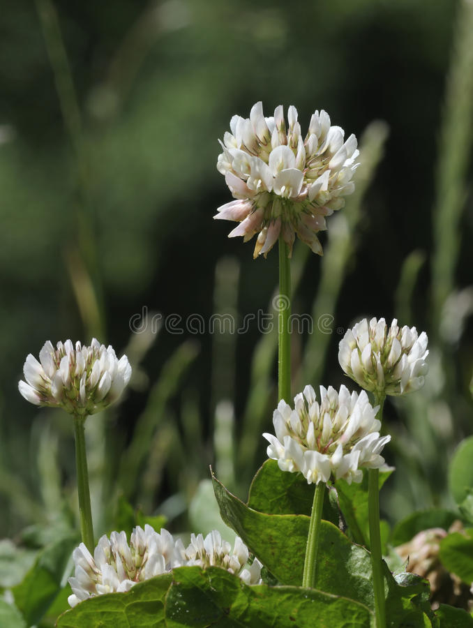 White Clover - Trifolium repens. Four flowers agains dark background royalty free stock photography