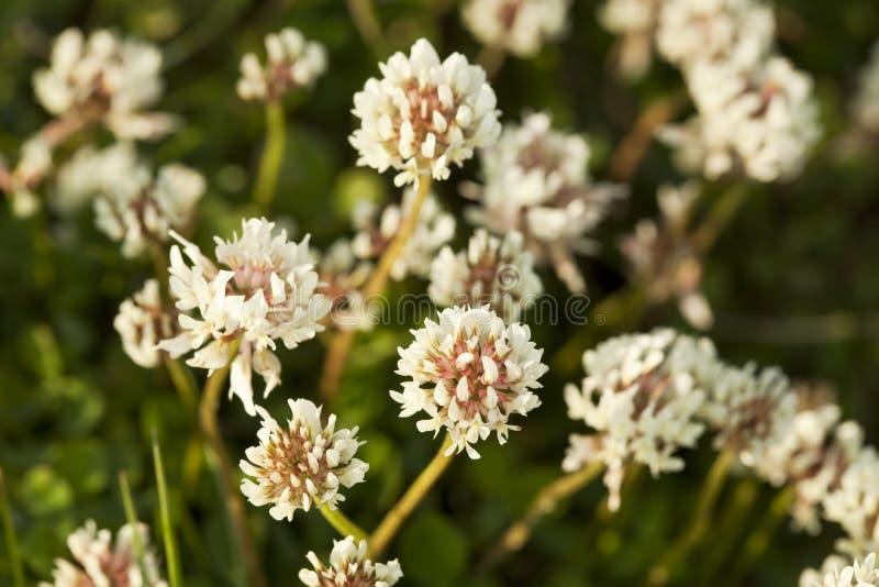 White clover (Trifolium repens). Macro photo royalty free stock photography