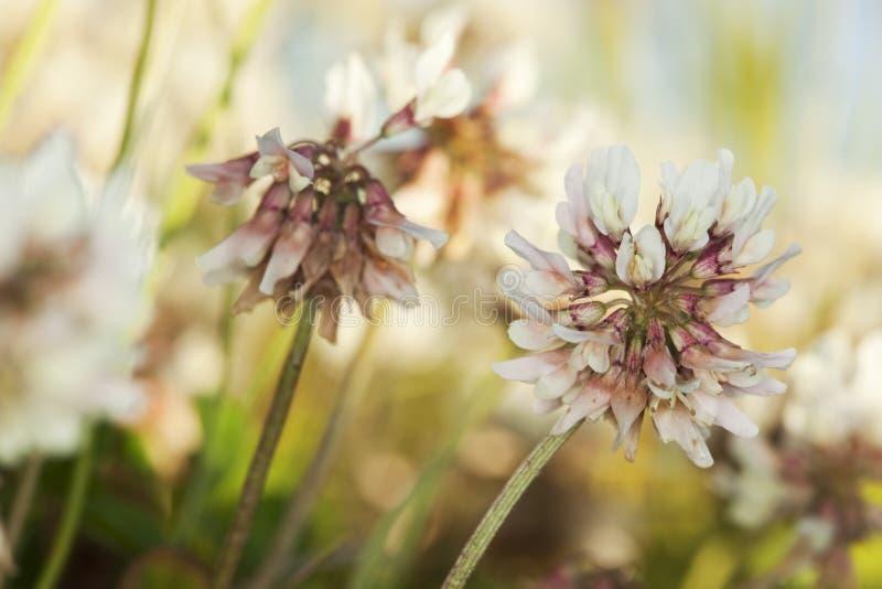 White clover (Trifolium repens). Macro photo royalty free stock images