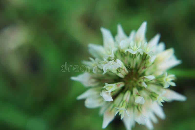 White clover. Trifolium repens, the white clover stock image