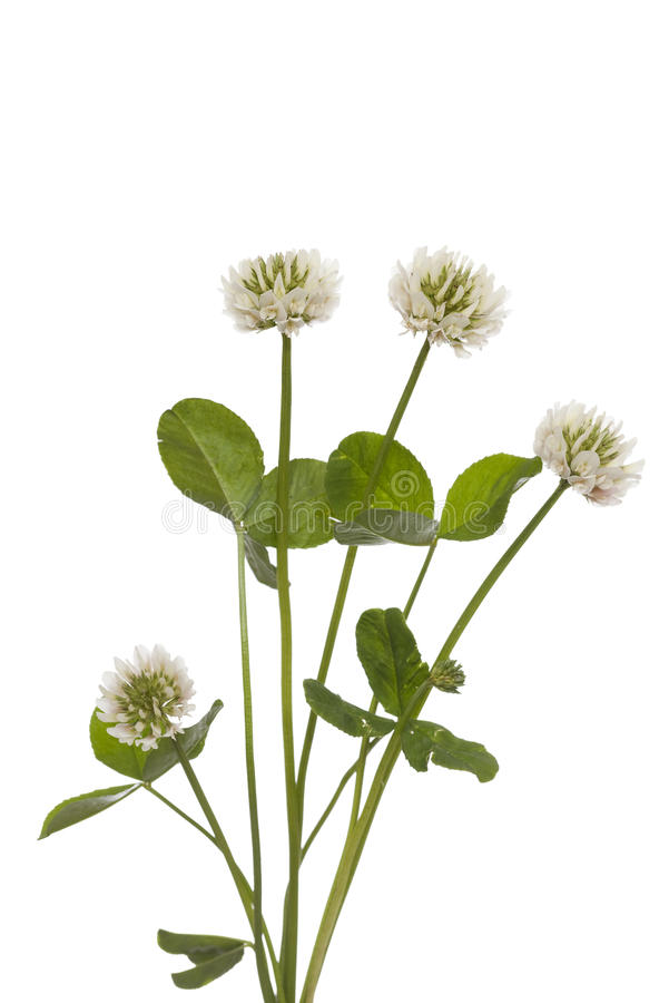 White clover. (Trifolium repens) on white background stock photography