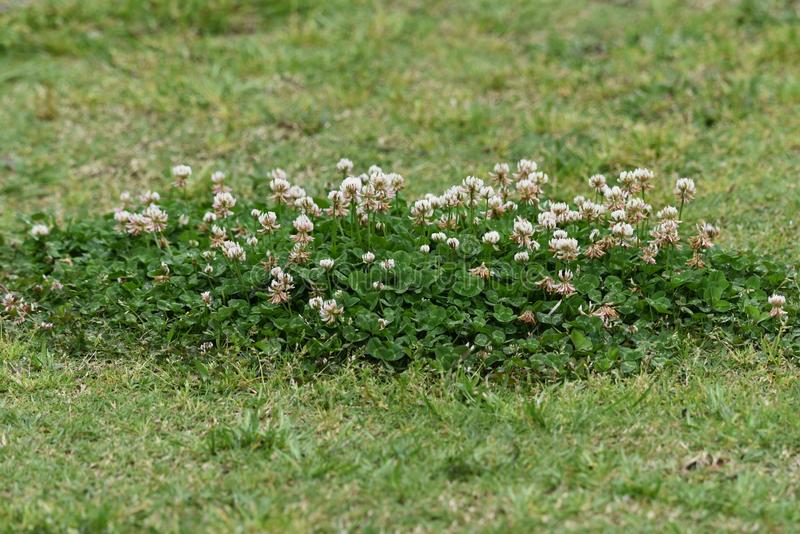 White clover. / Trifolium repens / Dutch clover royalty free stock images