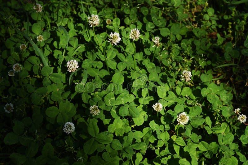 White clover. / Trifolium repens / Dutch clover royalty free stock image