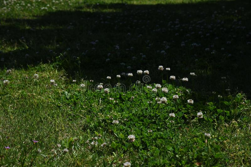 White clover. / Trifolium repens / Dutch clover royalty free stock photo