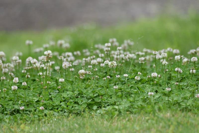 White clover. / Trifolium repens / Dutch clover stock photo