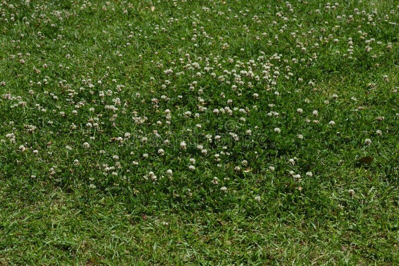 White clover. / Trifolium repens / Dutch clover royalty free stock photography
