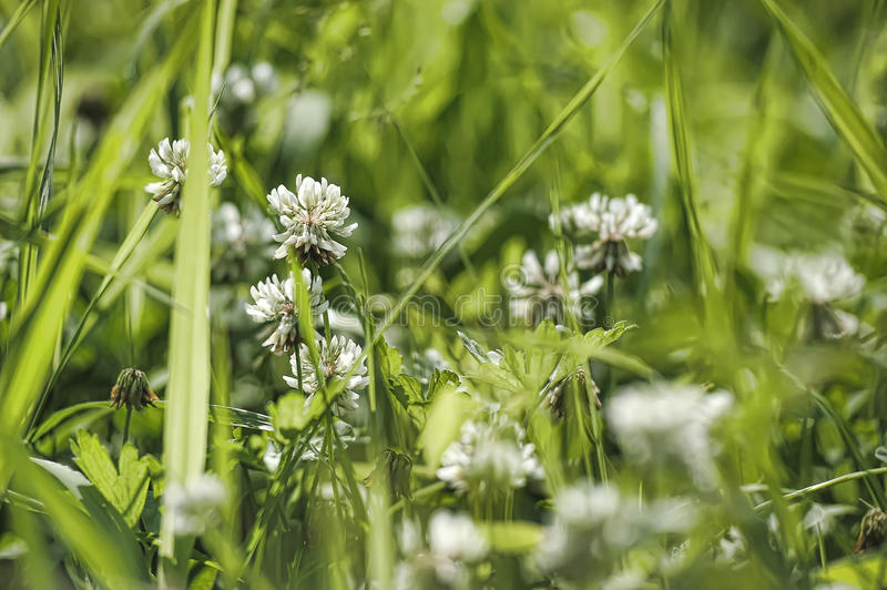 White clover. Trifolium repens flowers royalty free stock photography
