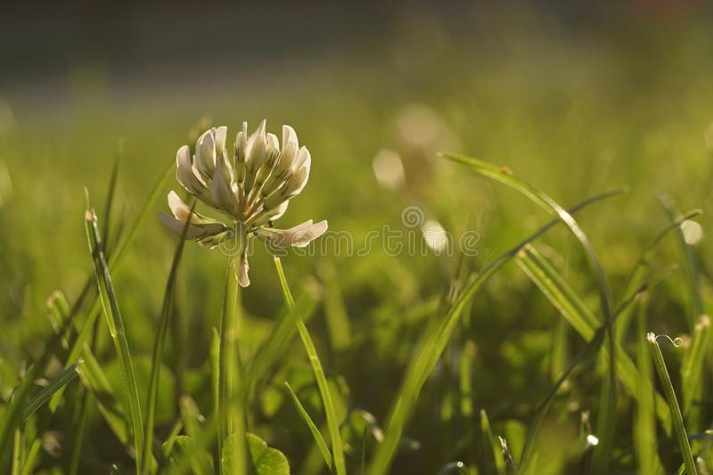 Close up of White Clover in a green meadow stock photography
