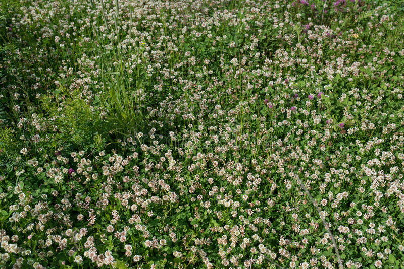 White clover wild meadow flowers in field. Nature vintage summer autumn outdoor photo background.  royalty free stock image