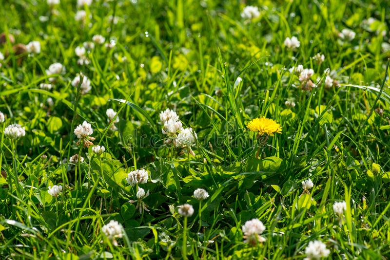 White clover wild meadow flowers in field. Nature vintage summer spring photo background. Selective focus macro shot stock images