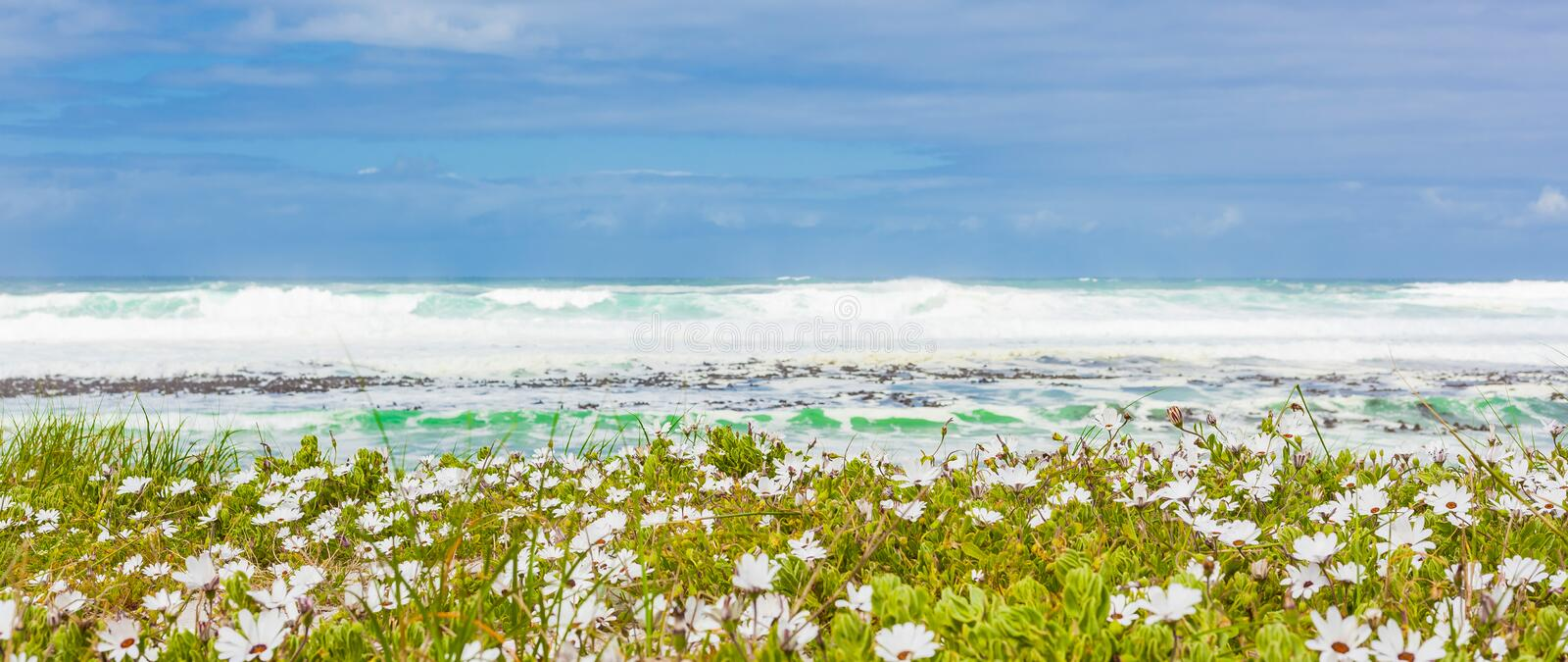White coastal flowers on a beach in Cape Town stock photo