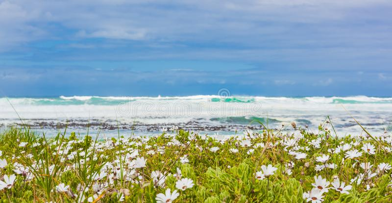 White coastal flowers on a beach in Cape Town royalty free stock photos