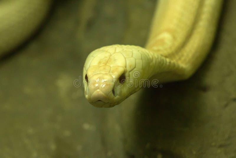 A white cobra looking through the glass closet stock photo