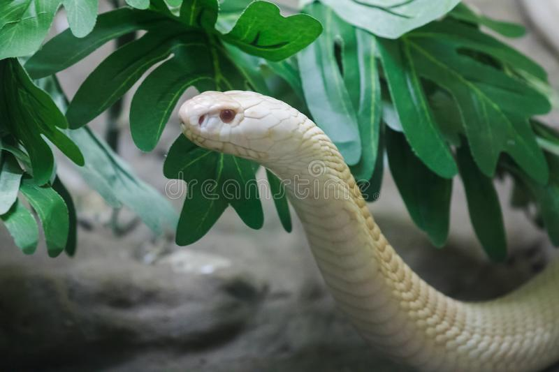 A white cobra looking through the glass closet stock photography
