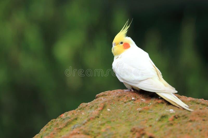 White cockatiel royalty free stock photo