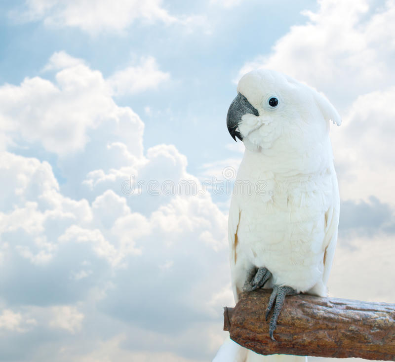 White Cockatoo. Over sky background