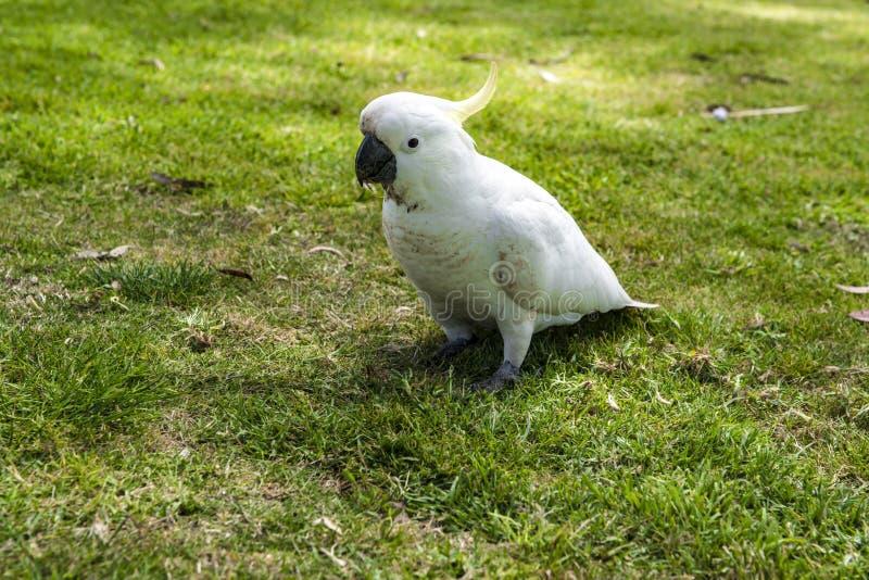 White cockatoo sitting in grass, South Australia stock photo