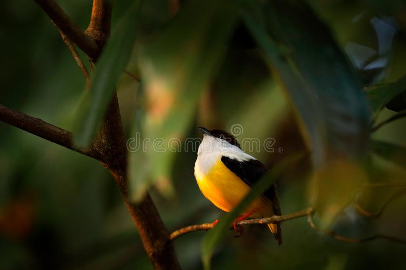 White-collared Manakin, Manacus candei, blyck white yellow tropic bird, Costa Rica, Central America. Forest bird, wildlife scene. From nature. Birdwatching in stock photography