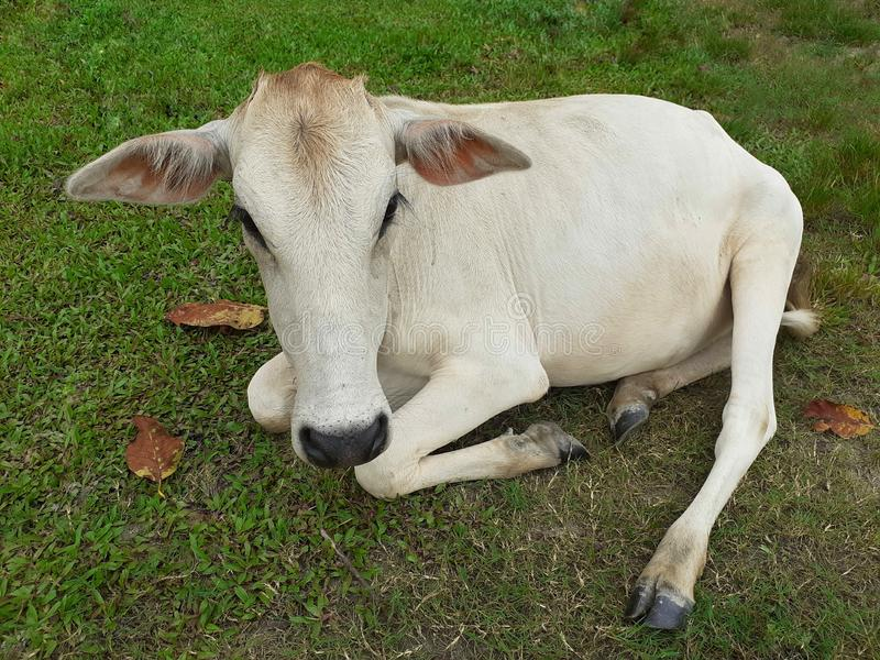 A white color cow sitting and resting on meadow. royalty free stock images
