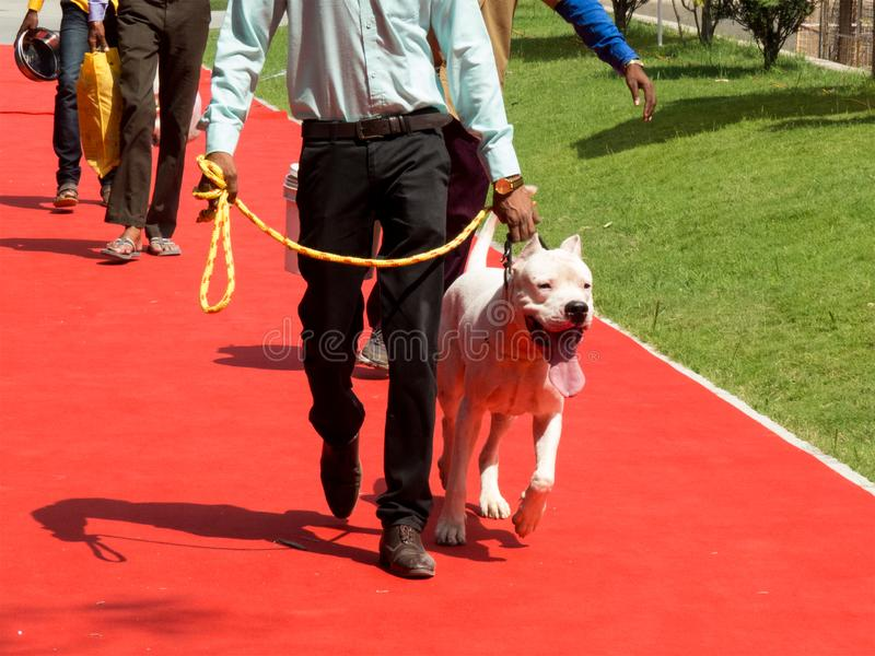 White color dog walking on red carpet royalty free stock images
