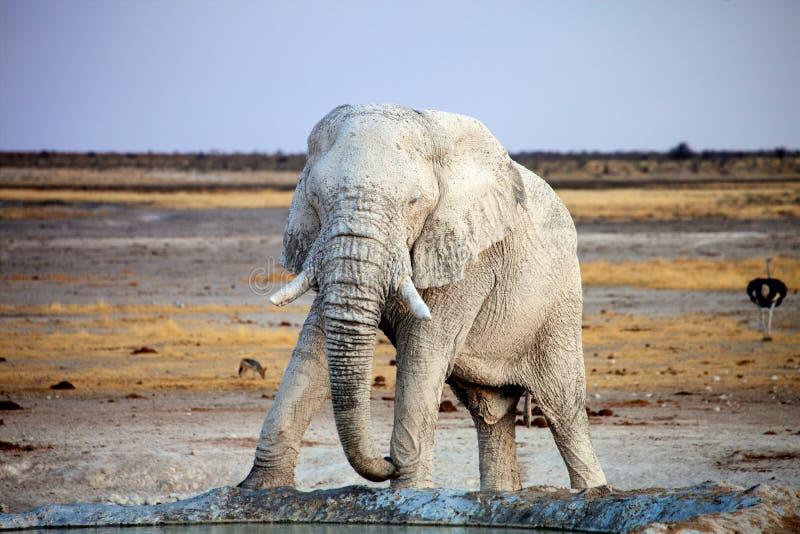 White-colored African elephant, Loxodonta africana, from travertine soil, Etosha National Park. Namibia stock images
