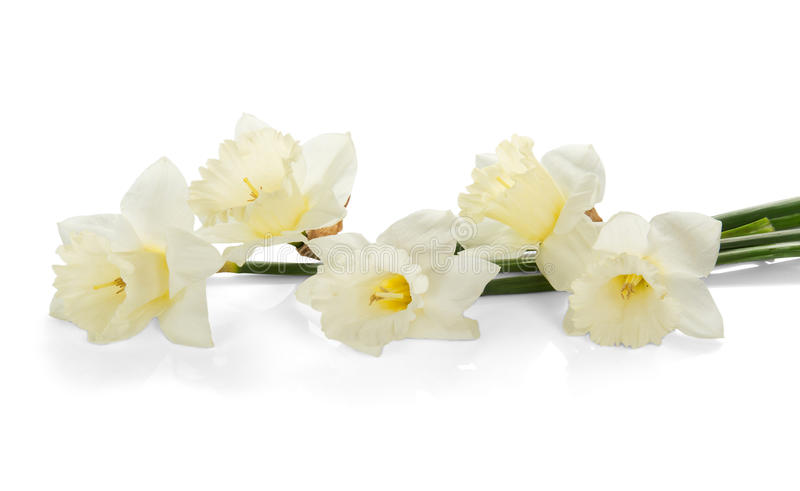 White colored daffodil flowers. Isolated on white royalty free stock photos
