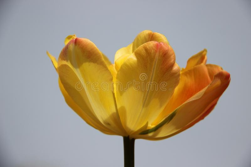 Alone. Budding one Colorful  Tulips With Murky Sky. Sweet. Blossoming One Yellow Orange Tulips In Spring Flowers Garden With Murky Nimbus Grey Sky In Europe royalty free stock photo
