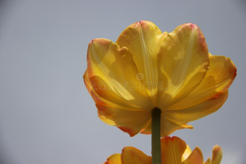 Bloom One Yellow Orange Tulips With Murky Gray Sky stock photo