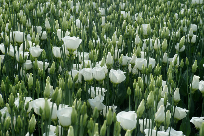 White coloured lisianthus flowers on a greenhouse bed royalty free stock photography