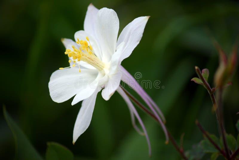 White Columbine Flower (Aquilegia) stock image