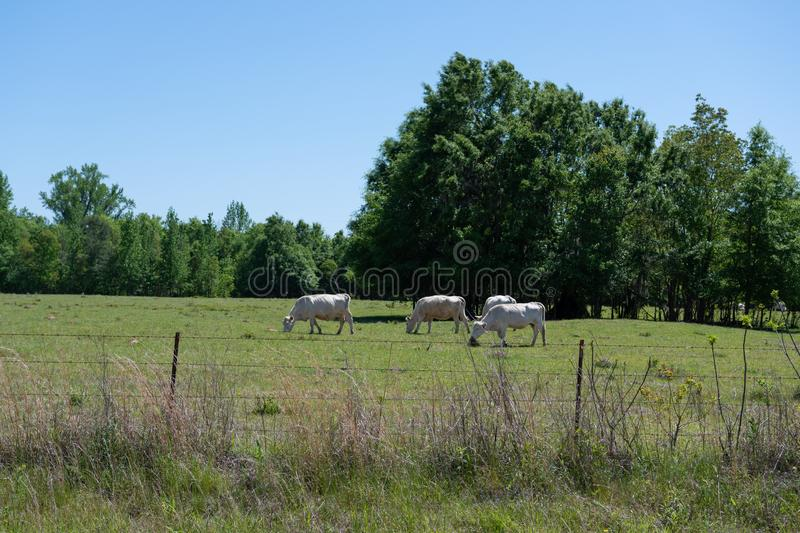 White commercial cattle in pasture. White crossbred commercial beef cattle in a pasture in Alabama royalty free stock image
