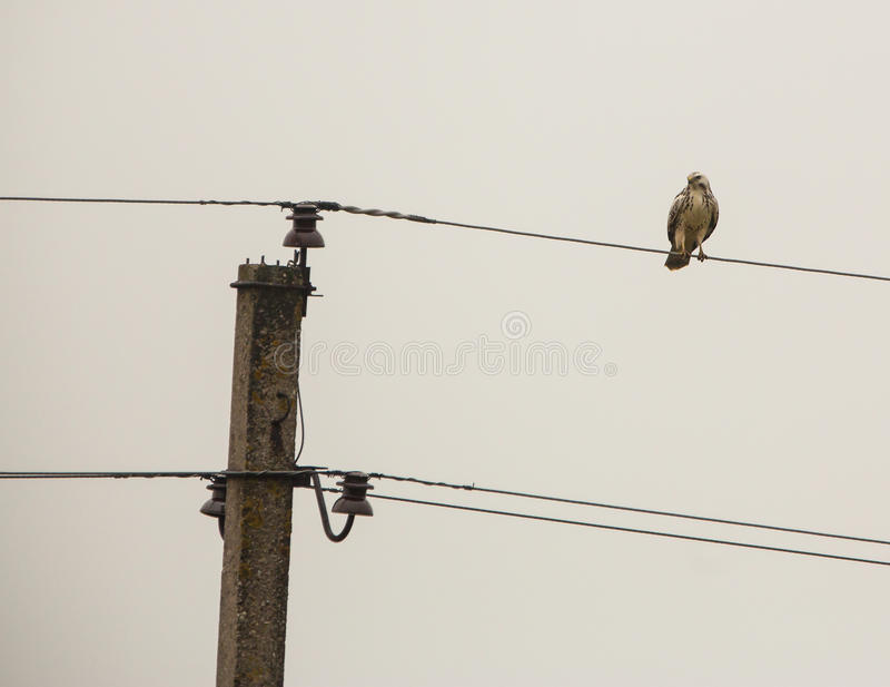 White Common Buzzard On A Wire Stock Image