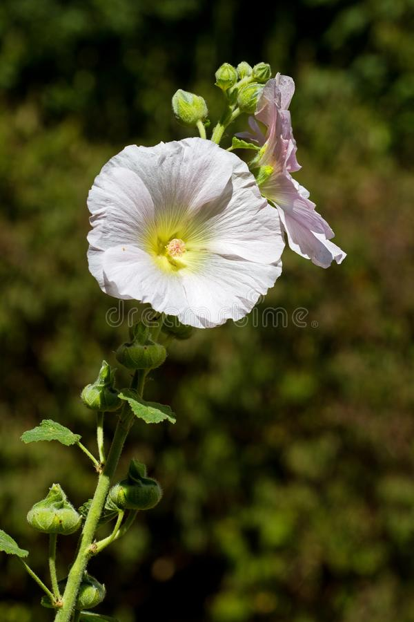A white Common hollyhock stock photography