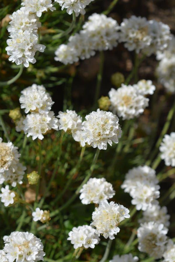 White common thrift. Flowers - Latin name - Armeria maritima Alba stock photo