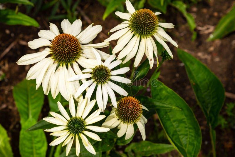 White cone flower, echinacea purpurea alba. In a garden royalty free stock photography