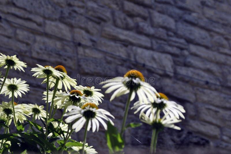 White coneflower, echinacea, big daisies stock photo