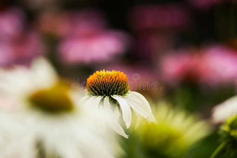 White Coneflower with Pink Background royalty free stock photography