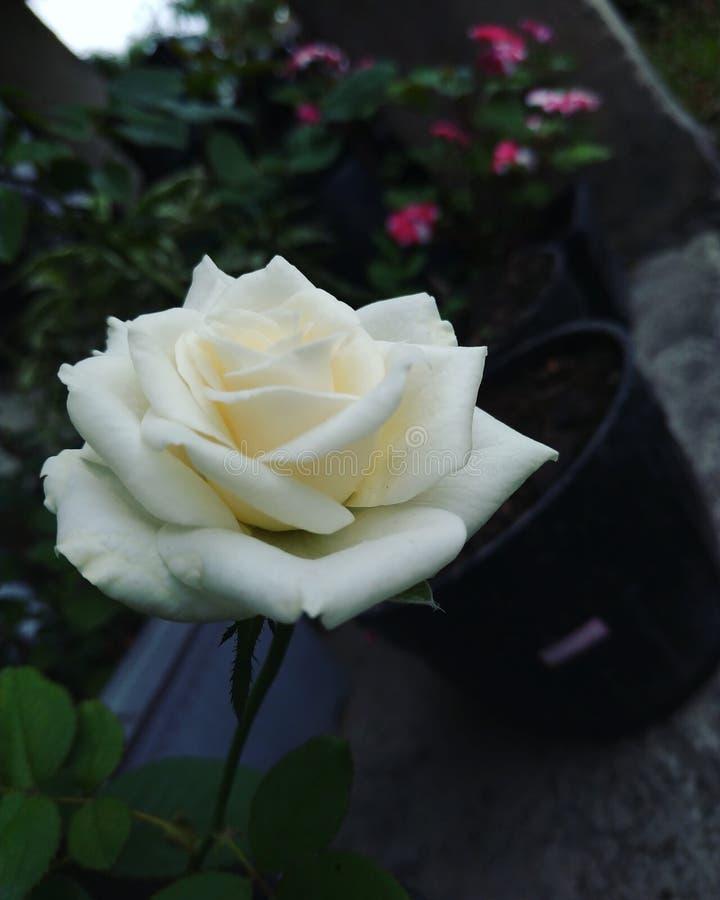 White Cool. Flower fresh whiteflower royalty free stock image
